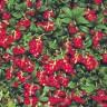Brusnica - voćni grm koji čuva organizam