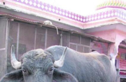 Umro je Jocko, bik koji je donirao 1.7 milijuna doza sperme
