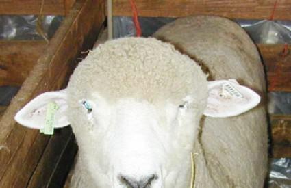 Što je Mujo objašnjavao ovci