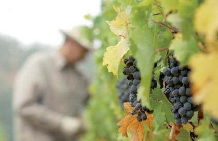 Engleska bi mogla uzgajati Merlot i Cabernet sauvignon