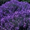 Lavanda - sve blagodati čudesne biljke
