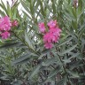 7 svakodnevnih biljaka koje vas mogu ubiti