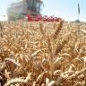 Zašto je pšenica loša za naše tijelo