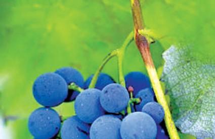 Grožđe - ukusno i izuzetno zdravo