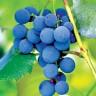 Grožđe - spas za srce