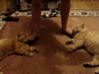 Maženje mački