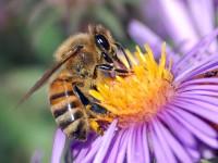 Posvojite pčelu da bismo opstali