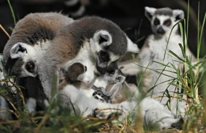 Lemure se mora zaštititi
