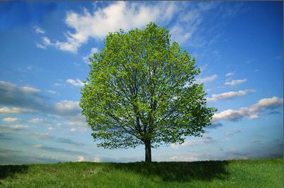 drvo, drveće