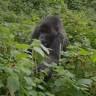 Uginuo legendarni 'kralj planinskih gorila'