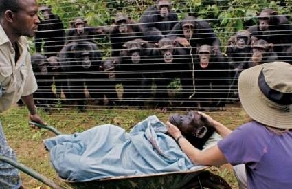 Tuguju li čimpanze