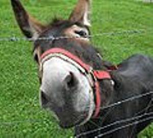 Zašto je Mujo magarac?