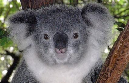 Koale su životno ugrožene