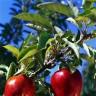 Kako Mujo bere jabuke