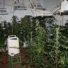 Hrvatska (polako) mijenja odnos prema marihuani