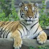 Držala sibirskog tigra kao kućnog ljubimca