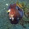 Hobotnice koriste kokosovu ljusku kao oruđe i zaštitu