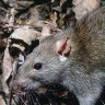 Sudionici reality showa optuženi jer su pojeli štakora