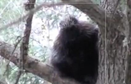 Snimljen Bigfoot