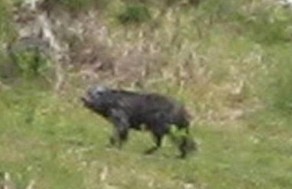 Misteriozna zvijer terorizira englesko selo