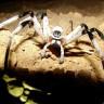Otkrivena divovska vrsta pauka