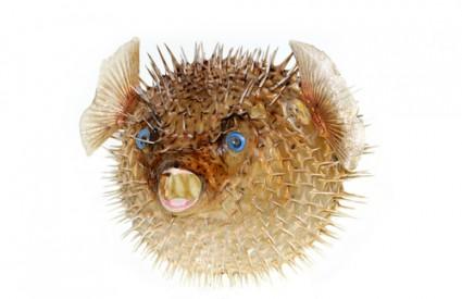 Fugu riba je izuzetno otrovna