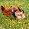 Mujo i Haso kloniraju kokoš