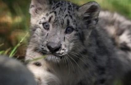 Slatko mladunče snježnog leoparda