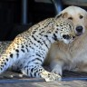 Retriver i leopard postali najbolji prijatelji