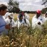 Ostajemo bez kruha? Ugroženo 90% svjetske pšenice!