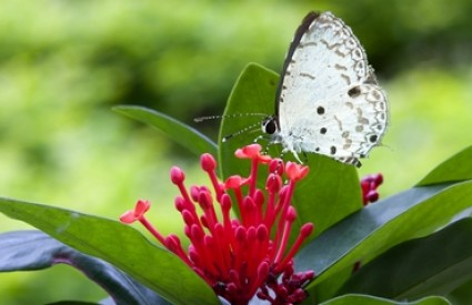 Leptiri su krhka bića...