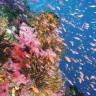 Sve manje mladih koralja u Velikom koraljnom grebenu