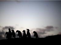 pingvini ju