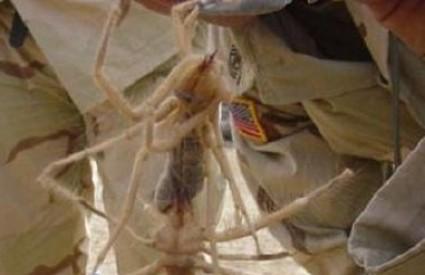 Sve više svjedočanstava o divovskom pauku u Africi