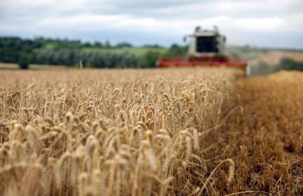 rusija pšenica suša