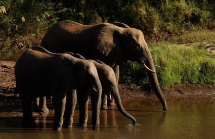 Slonovima smetaju čili papričice