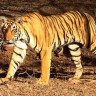 Stanovnici Ohia u panici, iz privatnog rezervata pobjegli lavovi i tigrovi