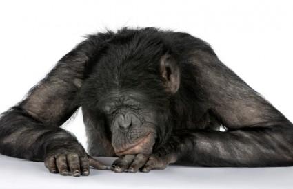 Čimpanza pobjegla iz zoološkog vrta i otišla na faks