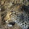Zašto leopard ima pjege