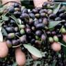 Istra je najbolja maslinarska regija na svijetu