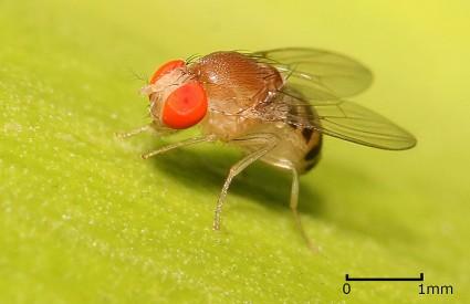 Voćna mušica