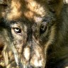 U Zagvozdu vukovi zaklali ovcu i pse pred vlasnikom