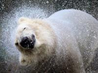 Polarni medo