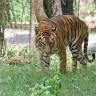Stres šteti i bengalskom tigru