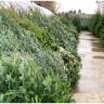 Živo božićno drvce - odabir, održavanje, odlaganje