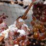 Ledeno vino, ekskluzivan užitak od smrznutih bobica