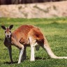 Klokan od 2 metra napao 94-godišnju Australku
