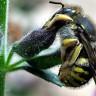 Ukoliko pčele počnu izumirati, loše nam se piše