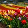 Koje sve cvijeće je kroz noviju povijest simboliziralo revolucionarne pokrete