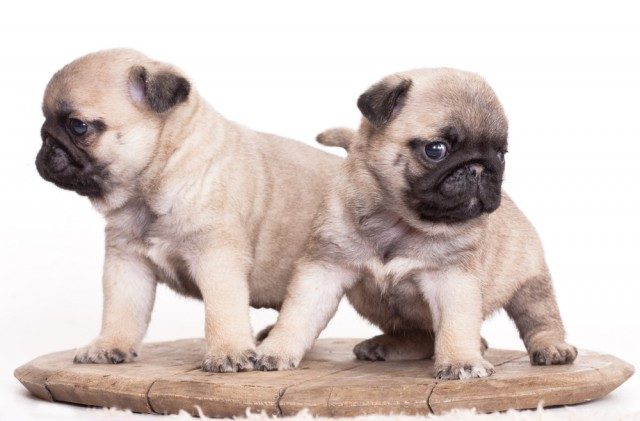 Hutch Dog Breed Cost